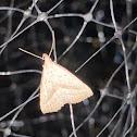 Twin-dotted Macrochilo Moth