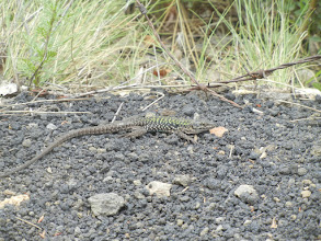 Photo: Lizard amidst the volcanic rock