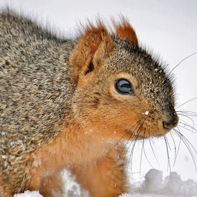 Eastern Fox Squirrel in the snow by Nancy Daugherty - Animals Other Mammals