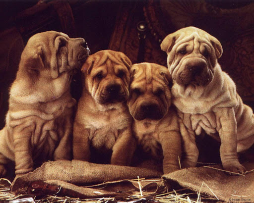 玩免費個人化APP|下載Shar Pei Pack 2 Live Wallpaper app不用錢|硬是要APP