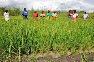 Photo: Farmer visit to SRI plot in Mlimba village, Mlimba, Morogoro, TZ, village [Photo by Erika Styger, 2012].