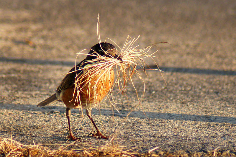 Photo: Whiskers  This American Robin was working frantically to fill her beak with grass.  I thought it made a comical site. Obviously, somewhere there was a nest to be built. For  #breakfastclub , curated by +Gemma Costa & +Andrea Martinez; #songbirdsaturday , curated by +John Briggs.  www.PopsDigital.com
