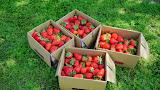 大湖鴻運高架草莓園
