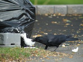 Photo: American Crow opening garbage bag