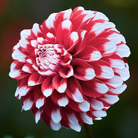 Dahlia 9784 by Raphael RaCcoon - Flowers Single Flower