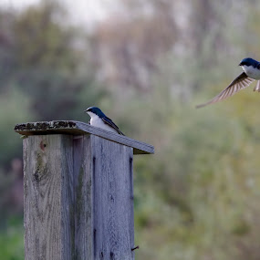 Tree Swallows by Brian Lord - Animals Birds ( spring, swallow, outdoors, bird, bombay hook )