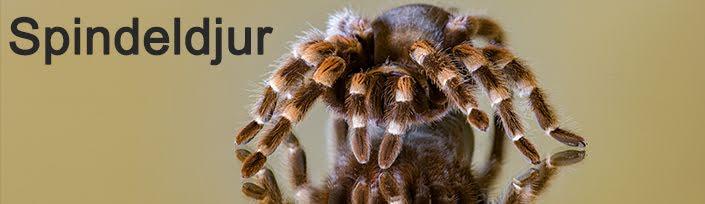 Spindeldjur