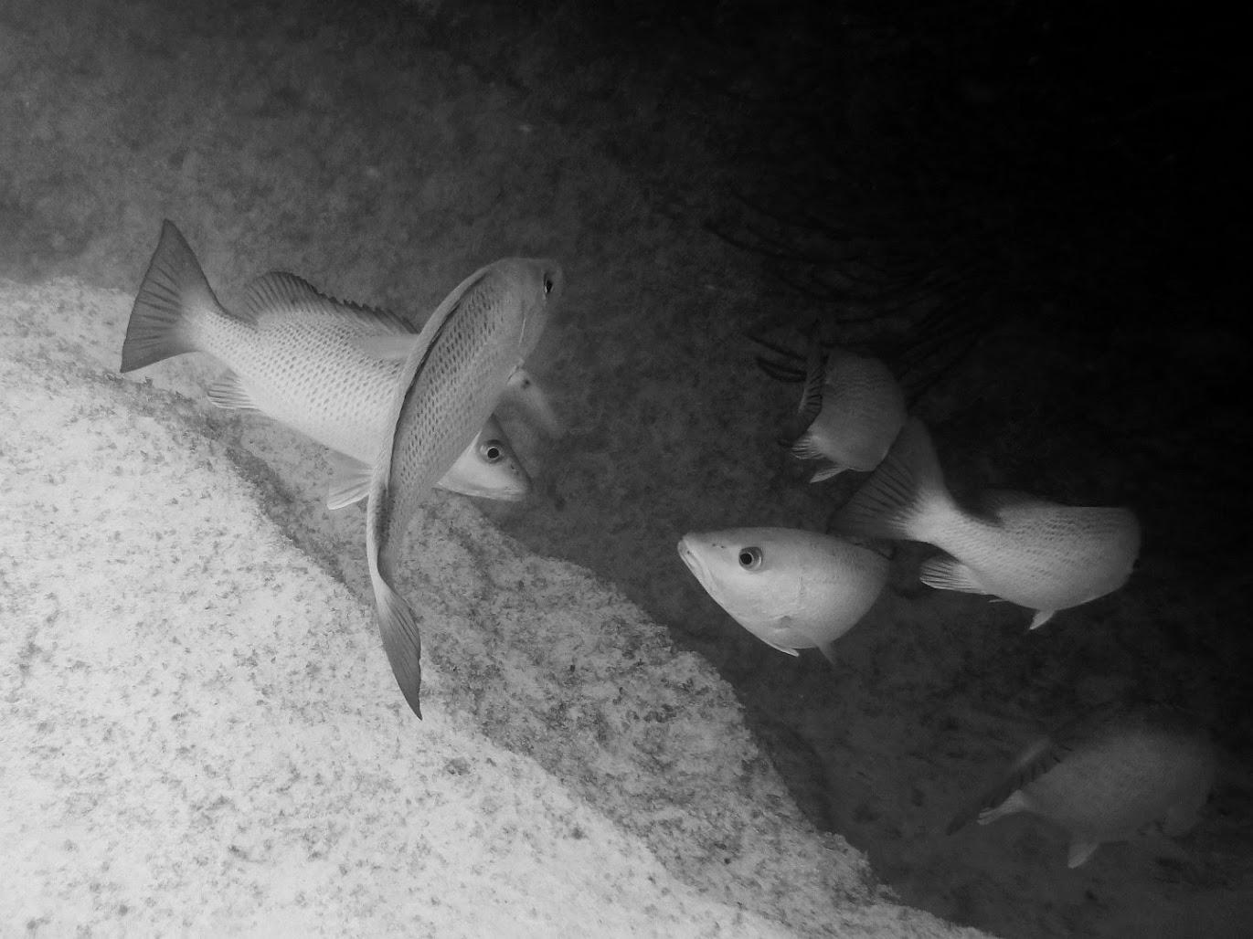 School of fish in Horseshoe Bay Cove, Southampton Parish, Bermuda