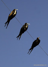 "Photo: Magnificent Frigatebirds, a ""junk bird"" in San Blas"