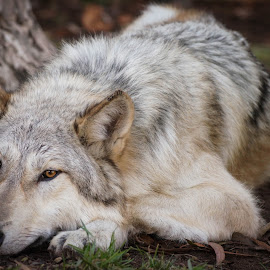 Sleeping Wolf by Viks Pix - Animals - Dogs Portraits ( rest, husky, resting, wolf, lay, lie, sleeping, wolves, malamute, sleep, hybrid, wise, wolfdog, dog, wild, lying )