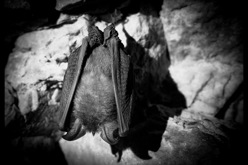 Pipistrello il re delle tenebre di brunosma