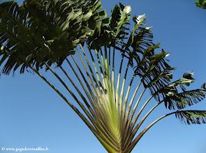 Photo: #023-L'arbre du voyageur
