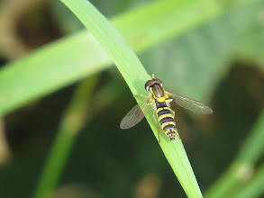 """Photo: 24 Jul 13 Priorslee Lake: This is another shot of a small Sphaerophoria sp hoverfly which has the same yellow / black """"warning"""" marking. The gap between the eyes shows it is a female and specific identification is not possible without DNA analysis. (Ed Wilson)"""