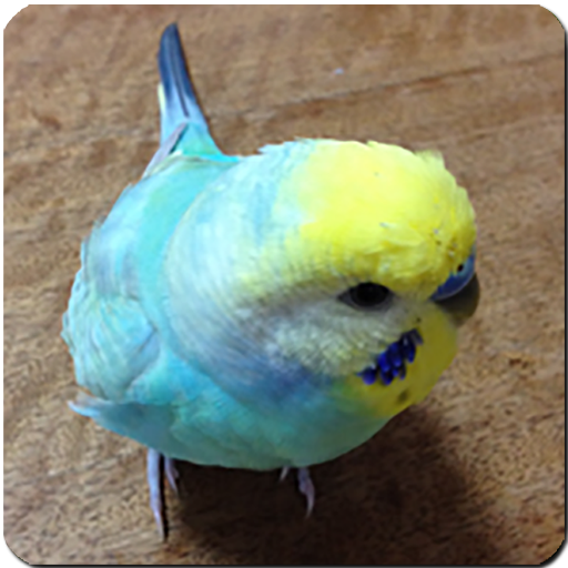 Budgerigar Sounds for Parakeet - Apps on Google Play