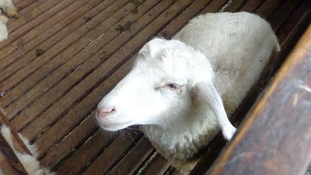 kambing di kuntum farm field bogor
