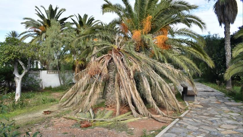 Palmeras afectadas por el picudo rojo este diciembre en Roquetas de Mar.