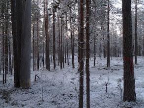 Photo: Hossa 29.11.2011. Luonnonmetsää leimikossa. Kuva: Lea Vainio.