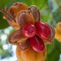 Tuckeroo (fruiting)