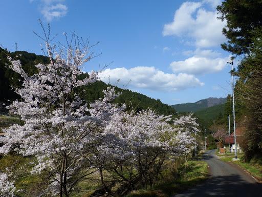 桜並木(ここを右に)