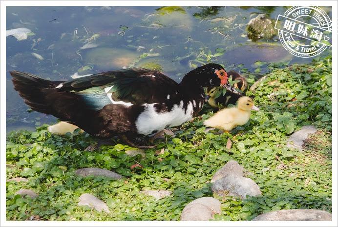 中央公園鴨子