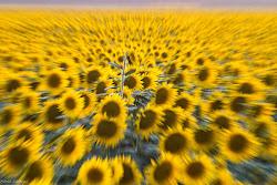 un mare di giallo