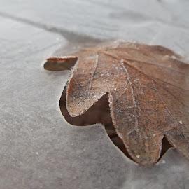Леден лист. by Georgi Kolev - Nature Up Close Leaves & Grasses ( лед., зима., светлина., листо., форми. )