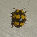 Fungus-eating Beetle