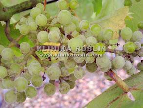 Photo: Mączniak prawdziwy na jagodach