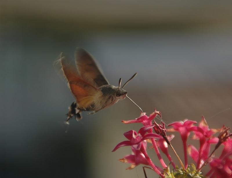 Sfinge colibrì di Selena_97