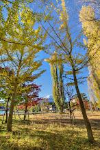 Photo: Ginko trees along with other trees turning the shades of Autumn along Lake Kawaguchiko at the base of Mt Fuji