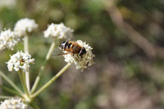 Photo: Eristalis sp  cf similis  Diptera > Syrphidae