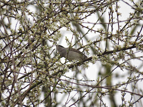 Photo: Priorslee Lake Blackcap leans on tippy-toes to drink nectar from the Blackthorn flowers. (Ed Wilson)