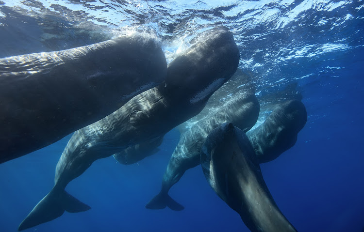 Family of sperm whales.