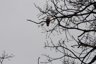 Photo: Great Spotted Woodpecker (Buntspecht); Bad Schandau, DE
