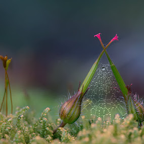 Silence by Einar Bjaanes - Nature Up Close Other plants ( micro, nature, silence, flowers, spider web )