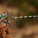 Libélula (Large pincertail)