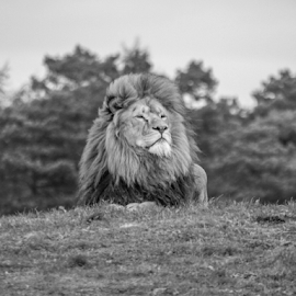 King of the hill by Garry Chisholm - Black & White Animals ( nature, mammal, big cat, lion, garry chisholm )