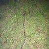 Texas Rat Snake, Western Rat Snake