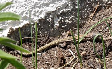 Iberian wall lizardweb.jpg