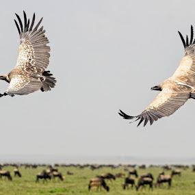 Flying Duo by Giancarlo Bisone - Animals Birds ( safari, pwcmovinganimals, voltures, tanzania, africa )