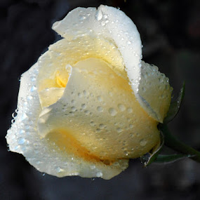champanhe by Ruy Lopes - Flowers Single Flower ( molhada, rosa, champanhe,  )