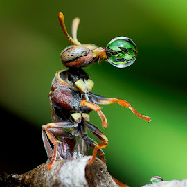 Wasp 160713A by Carrot Lim - Animals Insects & Spiders ( blowing, macro, wasp, water bubble, colours )