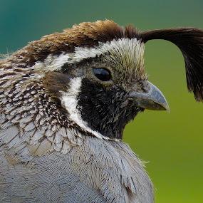California Quail (Male) by Nick Swan - Animals Birds ( bird, california quail, nature, wildlife, bc )