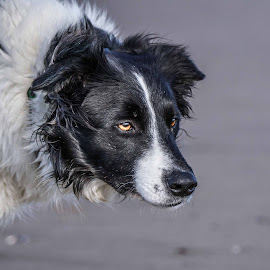 The Collie stare by Sue Lascelles - Animals - Dogs Portraits