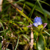 Wandering Dew Grass