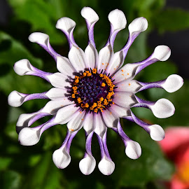 very nice colorful spring flower by LADOCKi Elvira - Flowers Single Flower ( garden plants floral flower nature )