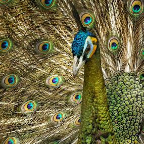 The Peacock #1 by Slamet Mardiyono - Animals Birds