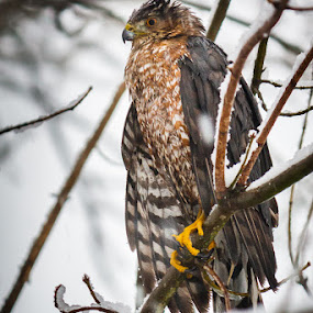 Hawk by Greg Booher - Animals Birds