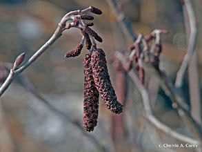 Photo: Speckled alder, male and female flower buds