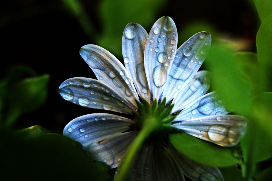 Back of Flower by Trista Markland Sorensen - Nature Up Close Flowers - 2011-2013 ( water, drops, white, daisy, flower )